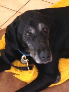 Meet Ebony a Petfinder adoptable Labrador Retriever Dog | Warrington, PA | Ebony is a very sweet and lively 10 year old female lab mix. She is in a foster home that has shown...