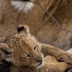 Lion cub Sabi Sabi Reserve