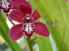 wine orchid