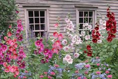 Hollyhocks Flowers...look pretty in a garden or in front of the home,make sure you have something for them to stand near(lattice or stakes) Plant a bunch of them for stunning results