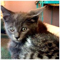 Our little grey foster  #kittensofinstagram #ilovecats #hollywoodkitten
