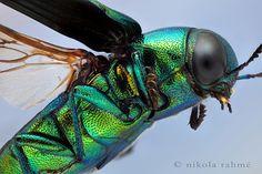 Jewel in flight Oak Jewel Beetle Eurythyrea quercus (Buprestidae) male.