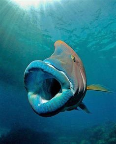Humphead Wrasse(Cheilinus undulatus),a. Maori Wrasse,or Napoleon Wrasse. Underwater Creatures, Underwater Life, Life Under The Sea, Sea And Ocean, Sea World, Fauna, Deep Sea, Deep Blue, Ocean Life