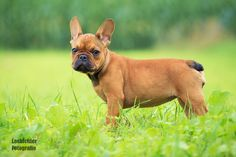 Französische Bulldogge Welpe puppy french