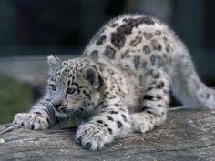 Baby snow leopard by Ocicat - looks like he's getting ready to POUNCE! Baby Snow Leopard, Leopard Cub, Clouded Leopard, Leopard Kitten, Big Cats, Cool Cats, Cats And Kittens, Beautiful Cats, Animals Beautiful