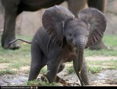 Elephant! Baby elephant!  Look at this and tell me you don't want one...