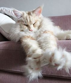The Maine Coon cat looks like a mythical creature from a fairytale. As one of th… The Maine Coon cat looks like a mythical creature from a fairytale. As one of the largest domesticated breeds, even just lounging on a couch looks majestic. Chat Maine Coon, Maine Coon Kittens, Pretty Cats, Beautiful Cats, Kittens Cutest, Cats And Kittens, Tabby Cats, Siamese Cats, Animals And Pets