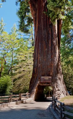 Chandelier Tree Redwood National Park