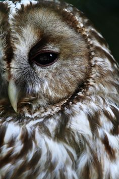 owl everything from owl designs to owl art the owls are here for you. owl be watching Beautiful Owl, Animals Beautiful, Mundo Animal, My Animal, Owl Always Love You, Cat Dog, Tier Fotos, Birds Of Prey, Cute Baby Animals