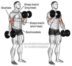 Dumbbell curl. An isolation exercise. Target muscle: Biceps Brachii. Synergists: Brachialis, and Brachioradialis.