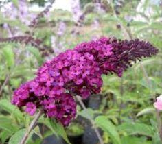 BUZZ Purple Dwarf Butterfly Bush buddleia davidii buzz Purple Introducing Buzz…