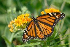 https://flic.kr/p/VpfUwX | Monarch Butterfly
