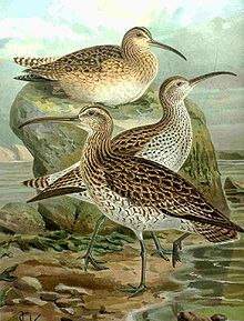 The Slender-billed Curlew (Numenius tenuirostris) is (or was) a bird in the wader family Scolopacidae. It breeds in marshes and peat bogs in the taiga of Siberia, and is migratory, formerly wintering in shallow freshwater habitats around the Mediterranean. This species has occurred as a vagrant in western Europe, the Canary Islands, the Azores, Oman, Canada and Japan.