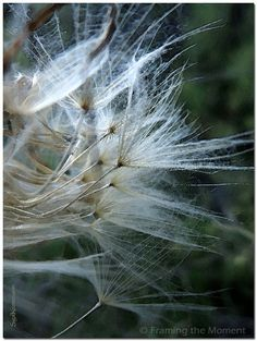 Breezy | Nature Fine Art Photography | Feathery Soft Dandelion |  Framing the Moment by Sigal Krumer