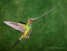 swordbilled bird   Sword-billed Hummingbird