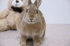 Ichigo san 424 いちごさんうさぎ rabbit bunny netherlanddwarf brown cute pet family ichigo ネザーランドドワーフ ペット いちご うさぎ