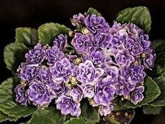 OPTIMARA-LITTLE-MOONSTONE-Mini-African-violet double white with blue tinged center bloom  leaves are light green, cupped,hairy, and ruffled