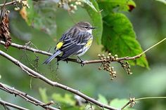 Yellow Rumped Warbler Wildlife Photography Fine Art Print By