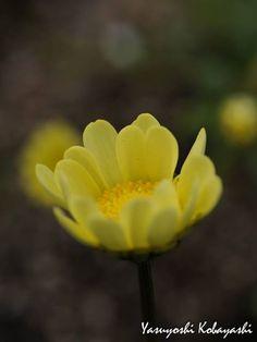 Hidden inside every flower are seeds of imagination, destiny and future dreams ~ Sondra Faye Photo@8270chihaya