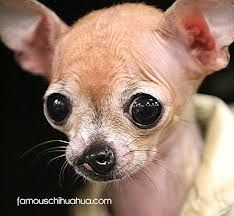 Special Chi with cleft palate. Who knew dogs had cleft palates. Sweet lil baby!!