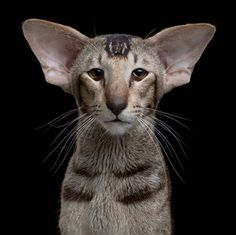 Oriental Shorthair Cat is a breed of domestic cat that is closely related to the Siamese. It maintains the modern Siamese head and body type but appears in a wide range of coat colors and patterns. I Love Cats, Crazy Cats, Cool Cats, Animals And Pets, Funny Animals, Cute Animals, Beautiful Cats, Animals Beautiful, Oriental Cat