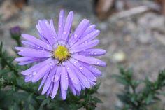 Park, Flower, Blossom, Bloom, Purple, Plant #park, #flower, #blossom, #bloom, #purple, #plant
