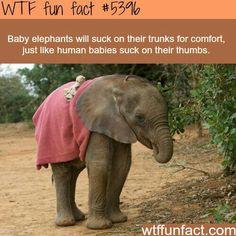 Fun fact: Baby elephants suck their trunks just like human babies suck their thumbs. Plush Animals, Baby Animals, Funny Animals, Cute Animals, Baby Elephants, Elephants Photos, Stuffed Animals, Animal Facts, Animal Memes