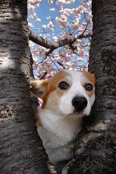 """ウェルは木登りが好きなのでまた登りました…っていうか、写真のために無理やりこんなポーズをさせられてあきれているウェルでした…(汗) WEL, thank you for posing for a picture. You're very cute against those """"double cherry blossoms."""" :)"""