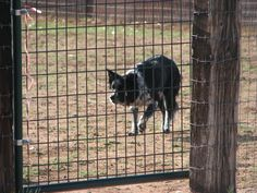 HTCh Lacy's Cat Ballou (Cat), RN, HXAs/HIAs/HSAd, HRDIIIs/HTADIIIs/HTDIIIds/HTADId, ATDsd/OTDc/OFTDs - showing classic Border Collie style when herding. #BorderCollie #LasCruces #ElPaso #NewMexico #herding