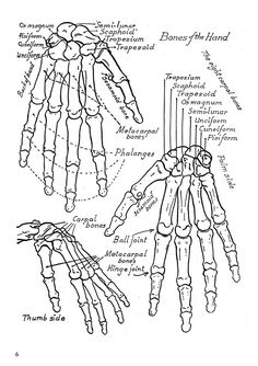 Skeletal System : Bones of the hand and foot, quiz 1