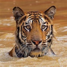 @natgeo @stevewinterphoto #NatgeoEarthDay Everyday is Earth Day  Read a new Nat Geo piece on the new tiger numbers by Sharon Guynup http://ift.tt/1SZdp3E Earth Day on April 22 celebrates our planet and the life that it provides for all living things. Though we have humans often forget that without the vital necessities our planet gives us we would no longer survive. The air we breathe the water we drink is all here for us every moment of every day. Though we take it for granted as we do the…
