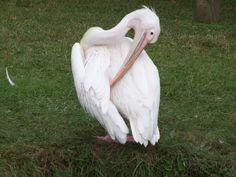 Pelican @ Zoo