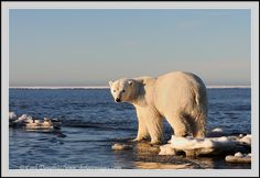 A polar bear on the shore of the Beaufort Sea. Checking out the beginning of the freeze up for sea ice, this polar bear is daunted by the open water still persisting. Baby Polar Bears, Sea Ice, Majestic Animals, Open Water, Animals Images, Freeze, Arctic, Tigers, Habitats