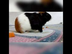 Guinea pig cleaning herself