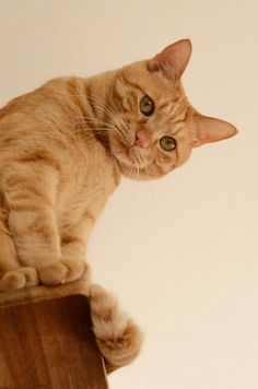 It looks like this cute orange tabby has the high ground! - Tabby Cat - Ideas of Tabby Cat - It looks like this cute orange tabby has the high ground! The post It looks like this cute orange tabby has the high ground! appeared first on Cat Gig. Cute Cats And Kittens, I Love Cats, Crazy Cats, Orange Tabby Cats, Red Cat, Gato Animal, Ginger Cats, Beautiful Cats, Cat Lovers