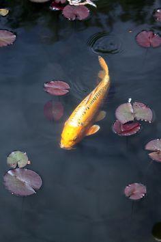 Japanese Carp (Koi)