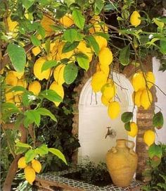 every California yard needs a lemon tree or two, right? In my mind it does! Amazing Gardens, Beautiful Gardens, Grand Art, Garden Pool, For Love And Lemons, Fruit Trees, Citrus Trees, Mellow Yellow, Dream Garden