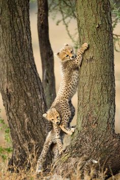 With a little help from a sibling . . . a cheetah tries to climb a tree. It is rare for cheetahs to climb trees. They can jump onto low hanging branches and fallen trees, but adult cheetahs are not good climbers.