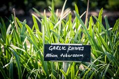 Growing, dividing and harvesting garlic chives - thisNZlife When To Harvest Garlic, Harvest Onions, Harvesting Garlic, Garlic Chives, Leaf Texture, Backyard Farming, Allium, Eating Raw, Companion Planting