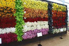 A beautiful wall of Belgian Mums®! Garden Mum, Beautiful Wall, Flowers, Plants, Decor, Decoration, Plant, Decorating, Royal Icing Flowers