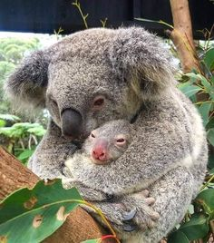 Koala & Baby You are in the right place about Cutest Baby Animals ever Here we offer you the most be Cute Baby Animals, Animals And Pets, Funny Animals, Nature Animals, Baby Koala, Baby Baby, Australian Animals, Tier Fotos, Cute Animal Pictures