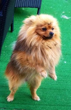 Bear – 5 year old male Pomeranian dog for adoption at Dorset Dog Rescue