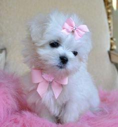 white toy yorkie puppies | Zoe Fans Blog
