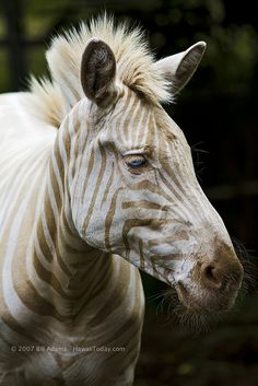 Born on the island of Moloka`i, Zoe is the only known captive white (golden) zebra in existence. By Bill Adams via Flickr