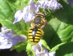 Wool carder bee - Anthidium manicatum - These bees, originally native of Europe were accidentally introduced into the United States in 1963. It is a bee, aggressive against males of its own species, which prefers blue flowers with long throats. Here it's feeding on my blue lobelia. These bees are leaf-cutters that use segments of leaves or flower petals (including those from my eastern redbud tree and rose bush!) to line their nests.