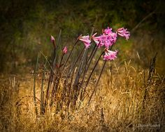 For 22 years now, this wild Amaryllis (aka: naked lady) has faithfully bloomed every fall in a field nearby where I live. The stalks pop up from the dry ground and from them, flows these fragrant pink blossoms that both the insects and myself love. I am always so grateful for their autumn presence, especially in this, the driest of years.