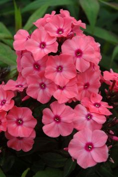 Coral Crème Drop Phlox Lovely coral blooms with rosy eyes. The most mildew resistant phlox to date. Coral Creme Drop will bring months of tantalizing color and delicious fragrance to the summer garden. Attracts butterflies and hummingbirds. Exotic Flowers, Amazing Flowers, My Flower, Pink Flowers, Beautiful Flowers, Flowers Perennials, Planting Flowers, Phlox Flowers, Flowers Garden