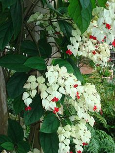 how i deal with shade my shade gardens, gardening, ponds water features, A better view of the bleeding heart blooms