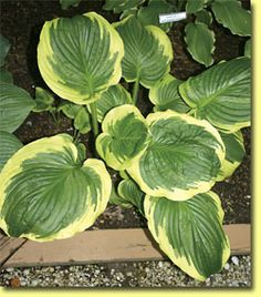 Hosta Lollapalooza (photo courtesy Q & Z Nursery)