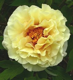 Peony 'Age of Gold'